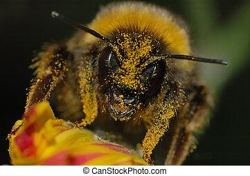 polline, coperto, bombo