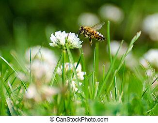 polline, dall'aspetto, fiore, ape