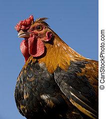 pollo, colorido