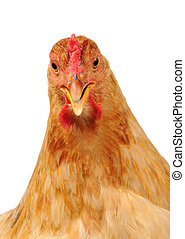 pollo, con, abierto, pico, blanco, plano de fondo