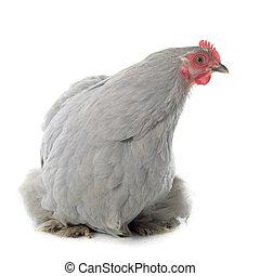 pollo, pekin