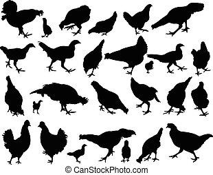 pollo, vector, silueta, conjunto