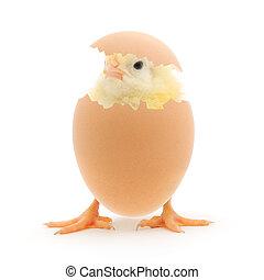 pollo, y, un, cáscara de huevo