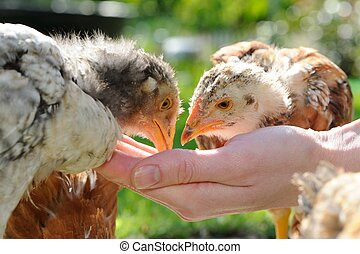 pollos, comida, mano