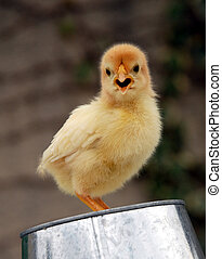 polluelo, amarillo