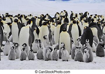 polluelo, pingüinos de emperador
