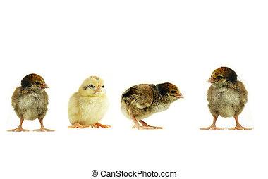 polluelos