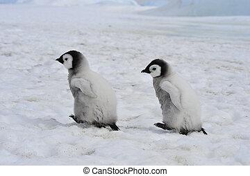polluelos, pingüinos, emperador
