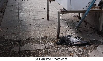 Polluted dead pigeon. - Water is dripping from air...