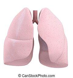 polmone, umano