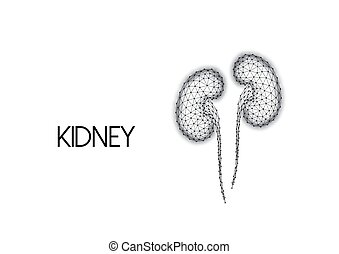 Polygonal human kidneys made of black lines and dots isolated on white background. Internal organs medical research concept. Modern wire frame design vector illustration.