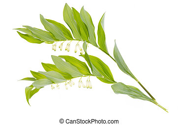 Polygonatum officinalis branch with white flowers and green leaves.