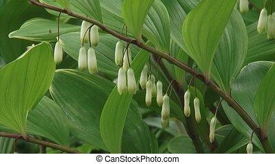 polygonatum variegatum in bloom - close up