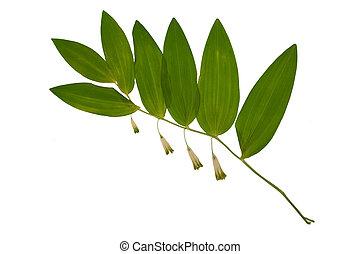 polygonatum, vrijstaand, gedroogmaakte bloemen, odoratum,...