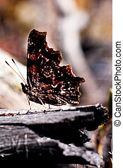 polygonia, komma vlinder, underwing, c-album
