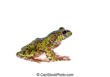 Polypedates duboisi, flying tree frog on white - Polypedates...