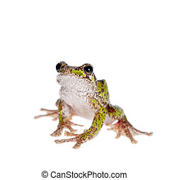 Polypedates duboisi, flying tree frog on white - Polypedates...