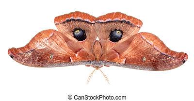 Polyphemus Moth - Polyphemus moth, Antheraea polyphemus,...