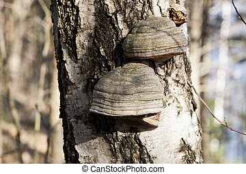 Polypore on birch tree trunk