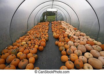 Polytunnel full of freshly picked pumpkins