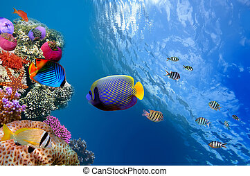 (pomacanthus, egipto, mar, angelfish del emperador, rojo,...