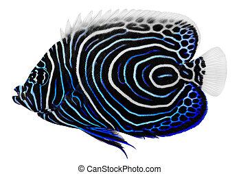 pomacanthus, emperador, angelfish., imperator