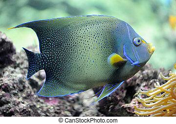 Pomacanthus semicirculatus - semicircle angelfish...