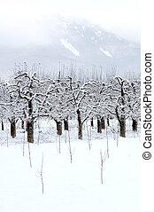 pomar maçã, coberto, com, neve, em, inverno