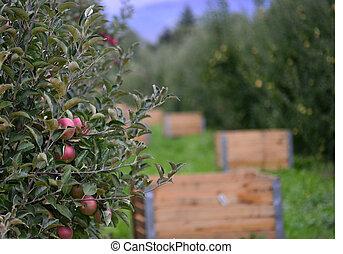pomar maçã, crate