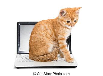 pomarańcza, pasiasty, kociątko, i, laptop