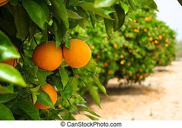 pomarańczowe drzewo