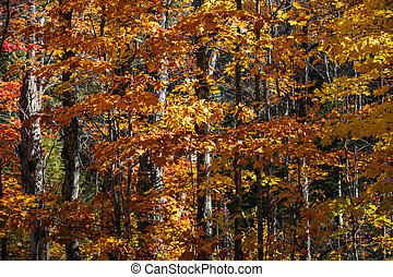 pomarańczowe listowie, las, tło, upadek