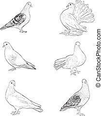pombo, isolado, ilustração, silhuetas, fundo, branca