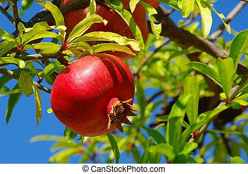 pomegranate 23
