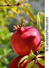 pomegranate 24