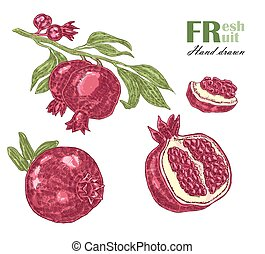 Pomegranate branch isolated on white background. Fruit vector illustration sketch