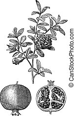 Pomegranate double flowers and fruit vintage engraving. Old engraved illustration of Pomegranate double flowers and fruit of the pomegranate with single flower.