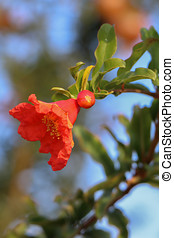 Pomegranate Flower with a bud