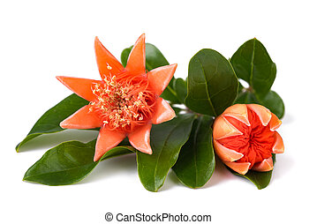 pomegranate flowers isolated
