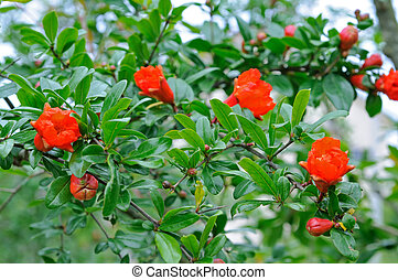 Pomegranate flowers on branch