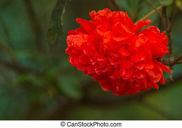 Pomegranate flowers.