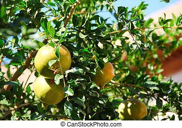 Pomegranate fruit on the tree