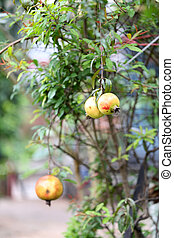 Pomegranate fruit on the tree.