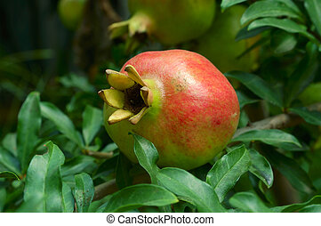 Pomegranate fruit on the tree
