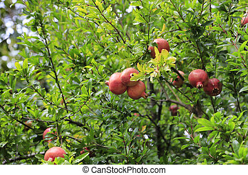 Pomegranate fruits hanging on a branches
