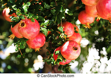 Pomegranate Fruits - the pomegranate or Punica granatum is a...