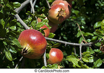 Pomegranate on a tree branch