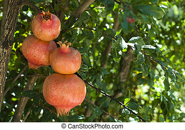 Pomegranate on a tree branch
