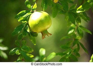 Pomegranate on the green tree