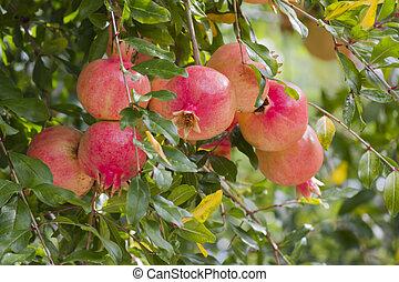 pomegranate on tree